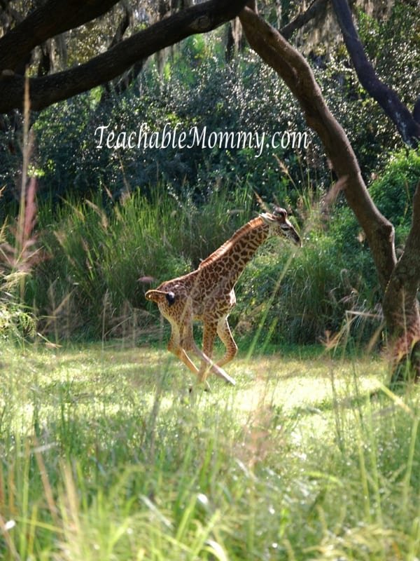 Baby Giraffe, Animal Kingdom, Disney World Animal Kingdom, Safari