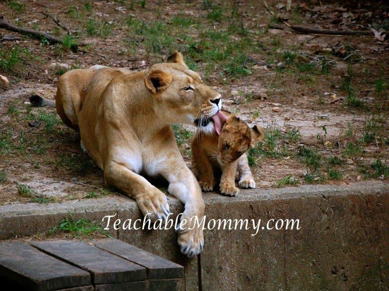National Zoo Lion Cubs, Lion Cubs, Lions