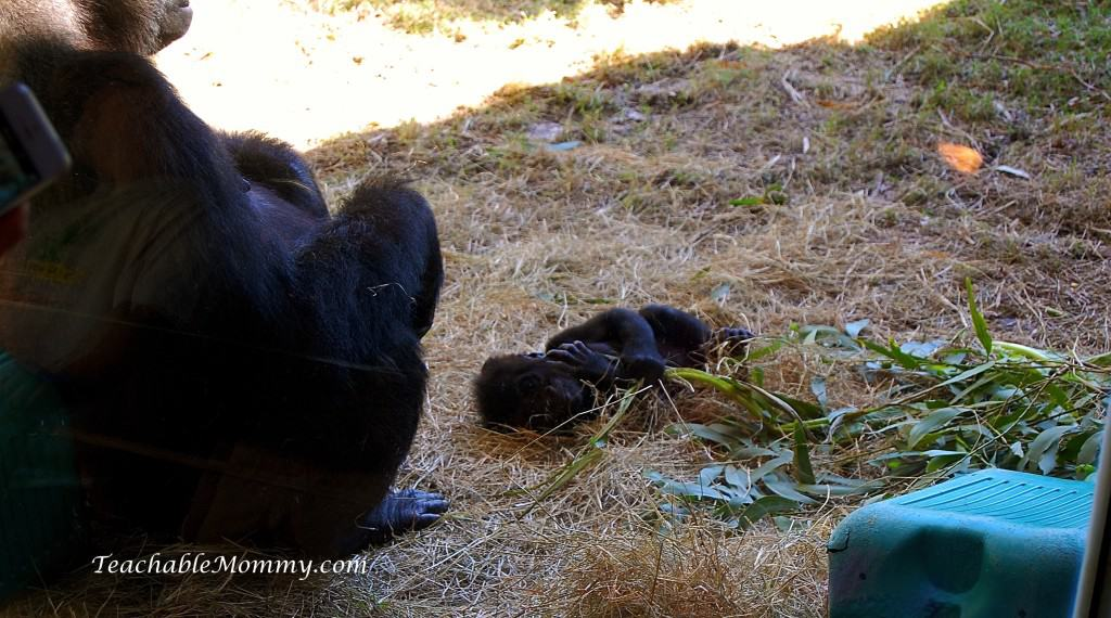 Disney's Animal Kingdom, Animal Kingdom, Walt Disney World, #DisneySMMC, Baby Gorilla