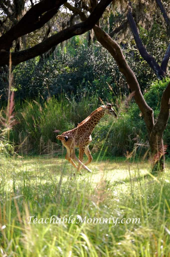 Disney's Animal Kingdom, Animal Kingdom, Walt Disney World, #DisneySMMC, Baby Giraffe