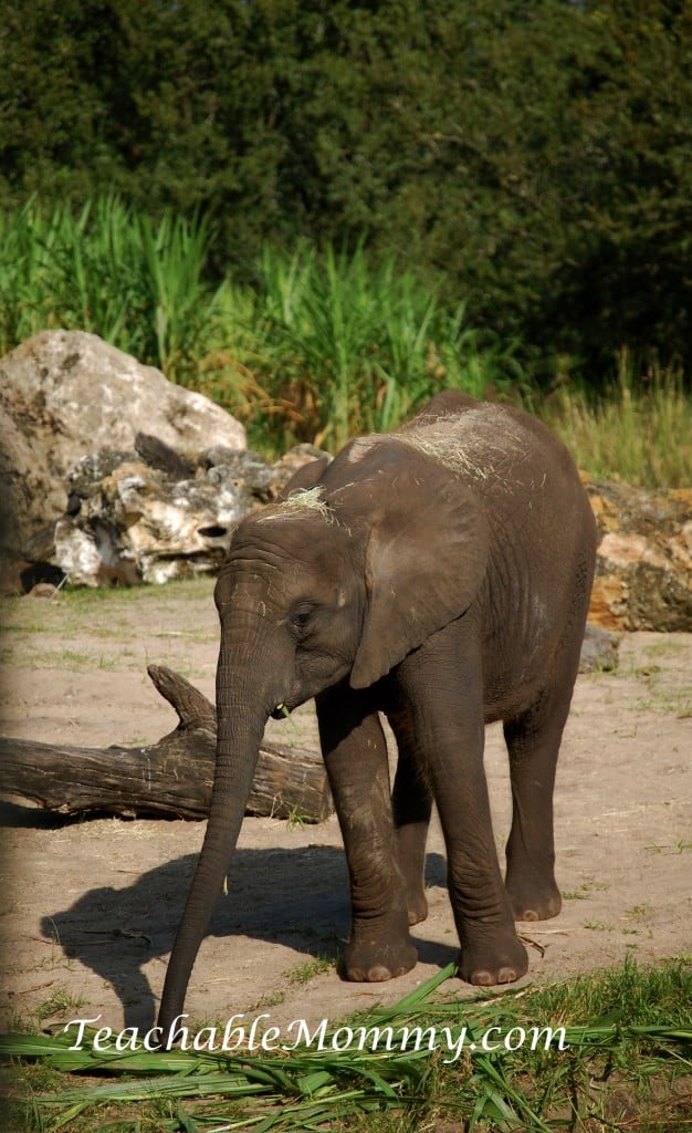 Disney's Animal Kingdom, Animal Kingdom, Walt Disney World, #DisneySMMC, Baby Elephant