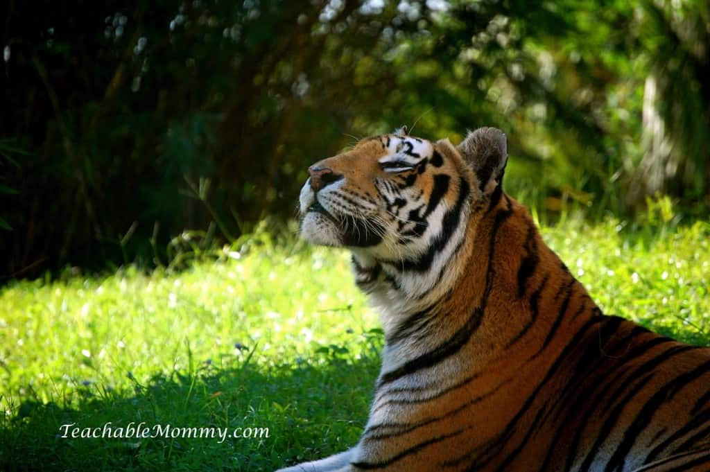 Disney's Animal Kingdom, Animal Kingdom, Walt Disney World, #DisneySMMC, Tiger