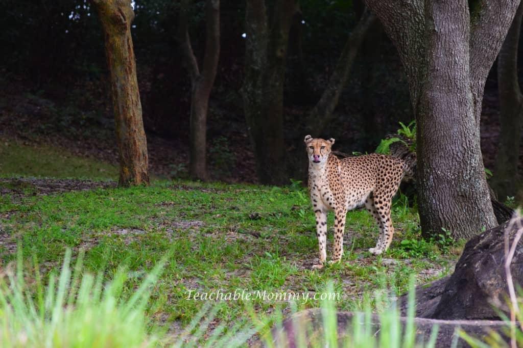 Animal Kingdom Safari, Disney's Animal Kingdom, Kilimanjaro Safaris, Animal Kingdom animals, cheetah