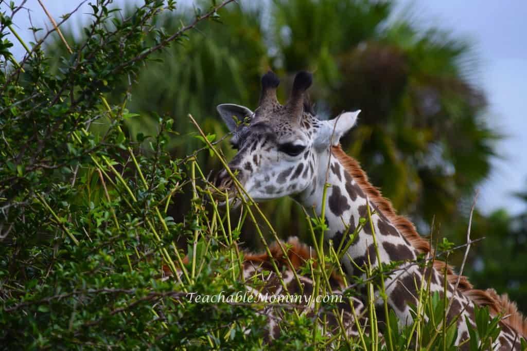 Animal Kingdom Safari, Disney's Animal Kingdom, Kilimanjaro Safaris, Animal Kingdom animals, Giraffe