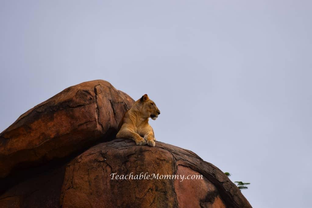 Animal Kingdom Safari, Disney's Animal Kingdom, Kilimanjaro Safaris, Animal Kingdom animals, lioness
