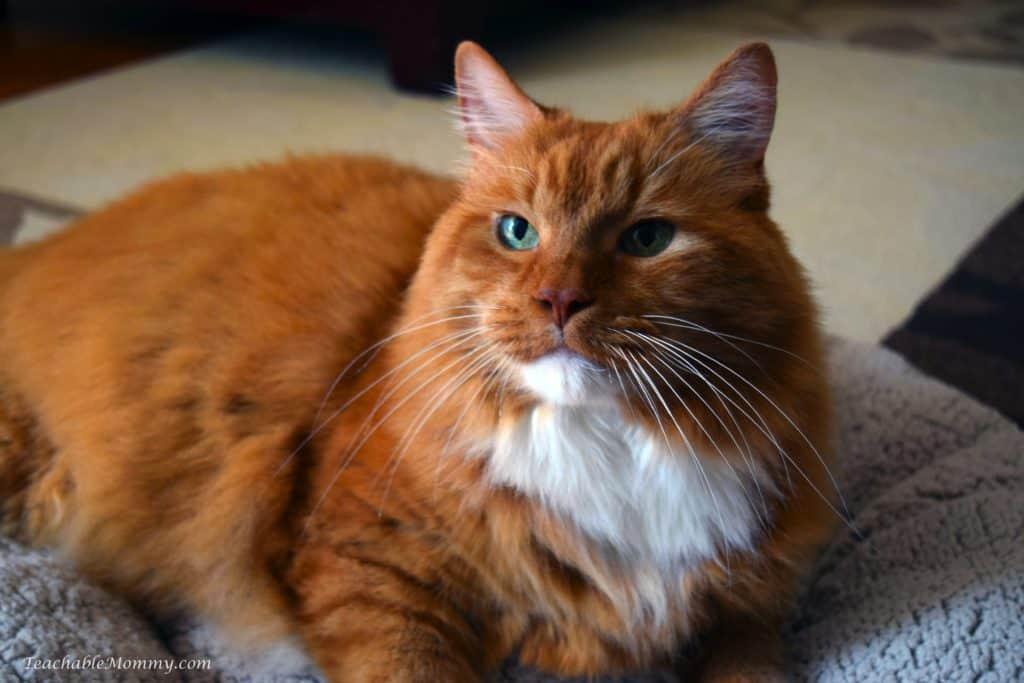 Cat, Ginger Cat